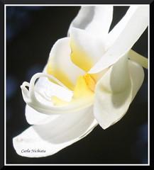 quinta-flower - orquídea elegante - elegant orchid (Carla Uehara) Tags: orchid flower macro canon orquidea quintaflower elegance diamondclassphotographer flickrdiamond