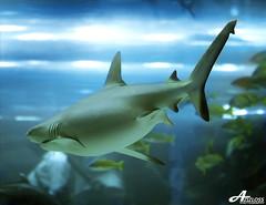Dubai Mall (ZiZLoSs) Tags: macro canon mall eos aquarium shark dubai 7d usm f28 aziz ef100mmf28macrousm abdulaziz عبدالعزيز ef100mm zizloss المنيع 3aziz canoneos7d almanie abdulazizalmanie httpzizlosscom