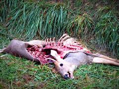 sleeping deer | day 2