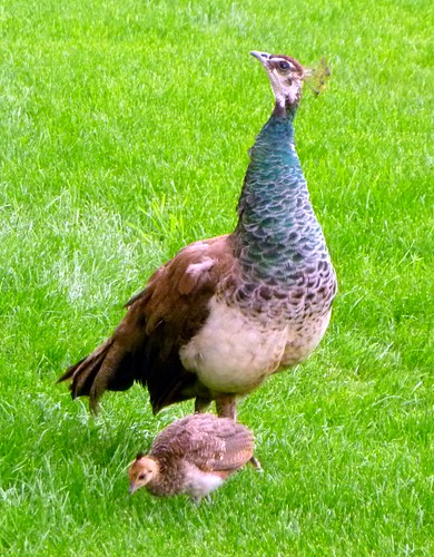 Peahen & chick