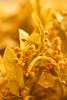 golden linden (ion-bogdan dumitrescu) Tags: flowers gold golden linden basswood limetree tiliacordata bitzi ibdp tiliaeuropaea mg6631 gettyvacation2010 ibdpro wwwibdpro ionbogdandumitrescuphotography