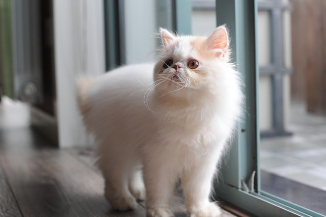 cute persian kitten wants to go outside