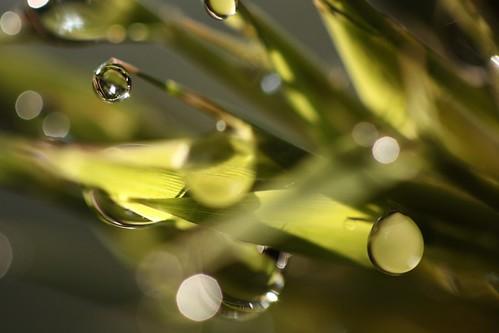 bamboo dew