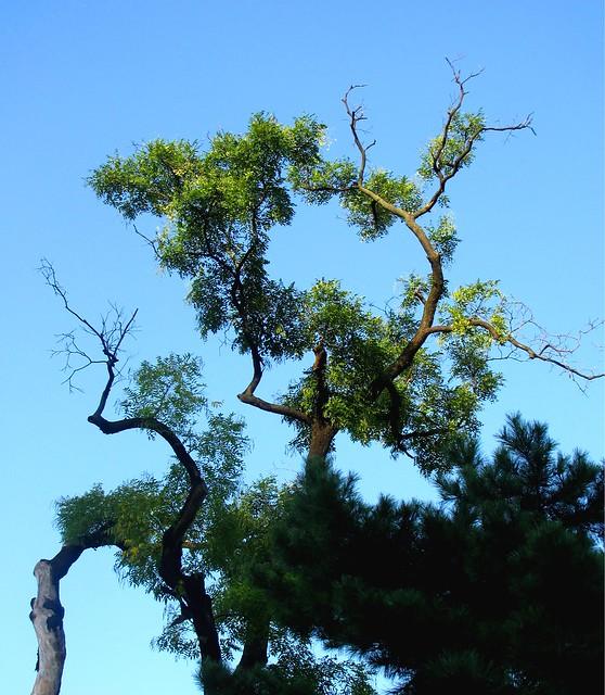 Korea Trip - Palace tree 1