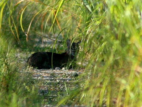 Bobcat 20100919