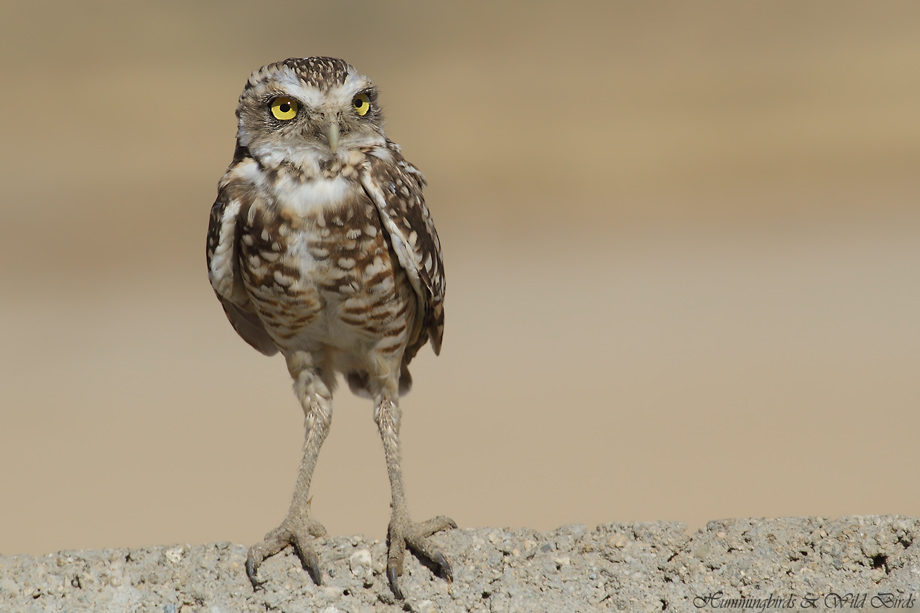 burrowing-owl-33-091910