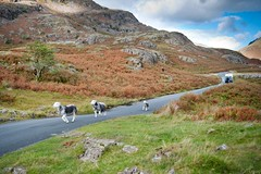 Sheep Herding at Wastwater in the Lake District (tricky (rick harrison)) Tags: road uk autumn driving sheep native unitedkingdom farming sheepdog lakes lakedistrict cumbria ferns nationaltrust lakeland wastwater sheepdogs herding herdwick wastdalehead