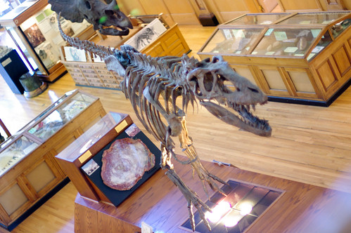 Gorgosaurus libratus from above...