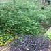 mrs b r cant hedge