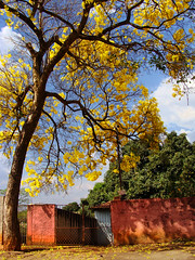 YEAHllow (osvaldoeaf) Tags: street city pink flowers blue light summer brazil sky urban house tree home nature yellow wall clouds america garden petals spring gate day colours branches south blossoms central amarelo ip suburb cerrado goinia gois wonderfulworldofflowers