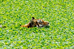 Tiger (StefanJacobsPhoto) Tags: water swimming sony tiger sp alpha tamron 70200 a700