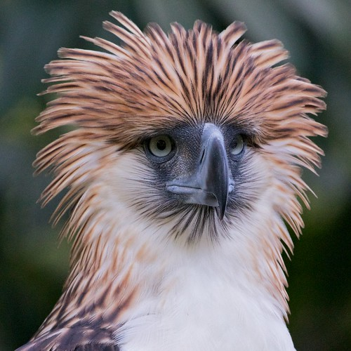 Philippine Monkey-eating Eagle - a photo on Flickriver