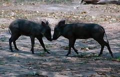 Warthog Piglets Playing