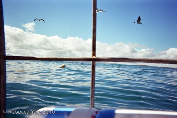 RYALE_Great_White_Shark_Diving-7