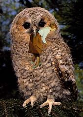 Dolly's Pet Owl