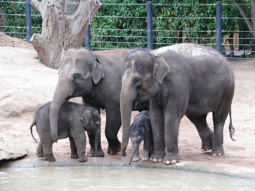 5032515063 ee7854606f Melbourne zoo's new baby elephant, a 2 week old male, is looked after by the ...