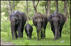 Welcome to Mudumalai (Prabhu B Doss) Tags: family india forest cub nikon reserve elephants tamilnadu ooty tusker indianelephant mudumalai d80 70300vr prabhub prabhubdoss mudumalaitigerreserve zerommphotography 0mmphotography