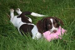 IMG_6205 (chrisgandy2001) Tags: dog cute english ess wales puppy ears jess spaniel springer springerspaniel doggy pup liver puppydog northwales englishspringerspaniel dolgellau caderidris englishspringer