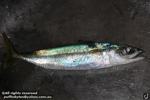 Blue Mackerel - Scomber australasicus