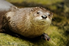 River Otter (Tyler Evert) Tags: wildlife wv westvirginia riverotter frenchcreek