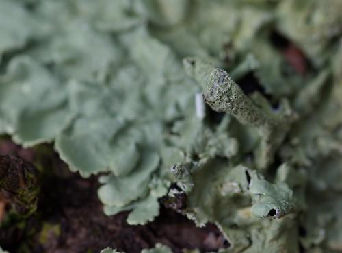 Lichen Close Up - Copyright R.Weal 2009