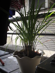 Lemongrass on our porch