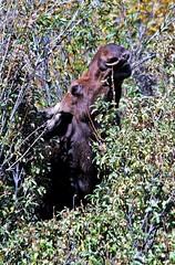 Peek-a-Boo (ssilberman) Tags: young moose september grandtetons 2010 grandtetonnationalpark moosejunction