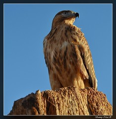 Falcon (Sammy Naas) Tags: bird eyes sharp libya ghadames    tuareq ghadamis   tuwareq