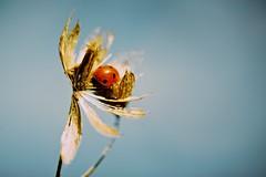 (martinpickard) Tags: flower garden ladybird dried