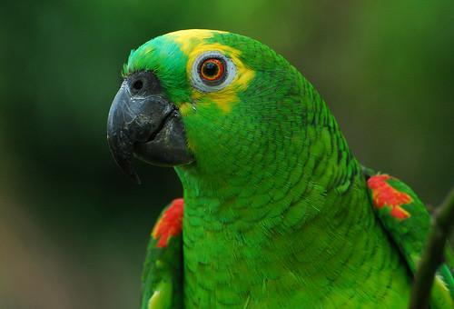 birds animals papagaio-verdadeiro Amazona aestiva Blue-fronted Parrot favorites Papagaio