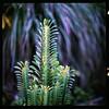 (19/77) Tags: cactus slr film nature malaysia 1977 negativescan kiev88 mediumfromat kodakektacolorpro160 autaut canoscan8800f arsat80mmf28 myasin