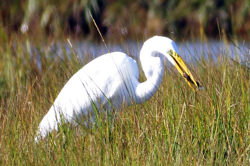 great egret eating
