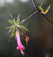 20100916_7899 Five corners - Styphelia tubiflora (williewonker) Tags: pink flower flora australia bluemountains nsw newsouthwales katoomba fivecorners princehenrycliffwalk stypheliatubiflora