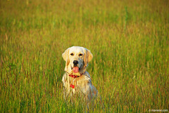 golden light for the golden dog (.:: Maya ::.) Tags: dog eye nature goldenretriever puppy berry maya outdoor bulgaria  mayaeyecom mayakarkalicheva  wwwmayaeyecom