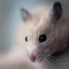 Hamster Spy (mortenprom) Tags: pet animal norway norge eyes skandinavien norwegen explore hamster noruega scandinavia 2010 noorwegen noreg catchlight skandinavia canoneos5dmarkii mortenprom