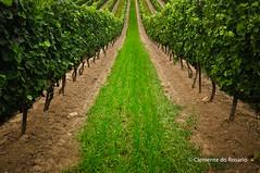 Vineyard, Niagara, Ontario,Canada (dorosario-photos) Tags: ontario canada vineyard vines vineyards wines niagarawineregion ontariowines niagaravineyards