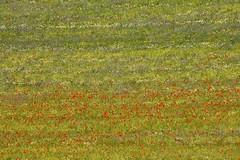 Painterly (Luca Zappacosta) Tags: flowers italy field countryside italia campagna poppies campo abstraction fiori umbria papaveri castelluccio montisibillini fiorita altipiano astrazione castellucciodinorcia parconazionaledeimontisibillini lucazappacosta zappacostaluca