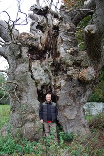 A 8.8 metre girth Oak
