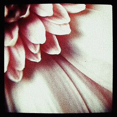 The petals nestle (Gladly Beyond) Tags: flower macro texture petals squareformat iphone iphone4 iphonemacro iphoneography instagram phototreats