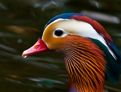Mr Mandarin (Steve-h) Tags: pink blue ireland portrait dublin orange white green bird nature water duck purple wildlife details beak feather aquamarine drop droplet mandarin drake rare steveh avianexcellence canoneos5dmarkii mygearandmepremium mygearandmebronze mygearandmesilver mygearandmegold mygearandmeplatinum mygearandmediamond canonef70200mmf28lisiiusm aboveandbeyondlevel1 aboveandbeyondlevel2