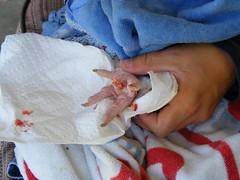 bumble foot surgery