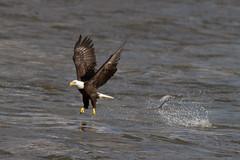 Conowingo-15Oct2010-IMG_3746 (Bob Gilley) Tags: bald eagles conowingo
