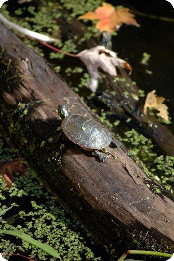 Turtle spotting at Mud Lake, Ottawa