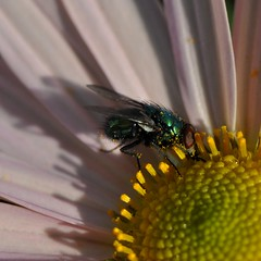 Pollen diving fly... Korean Chrysanthemum 'Apricot' is very popular with these guys... Autumn, 2010! (toryporter (back... never catching up!)) Tags: blue autumn orange sunlight black flower macro green nature yellow fauna garden insect fly petals wings flora colorful blossom maryland iridescent pollen anthers paleorange supershot nikond90 105mmf28vrlens toryporter damnblog koreanchrysanthemumapricot