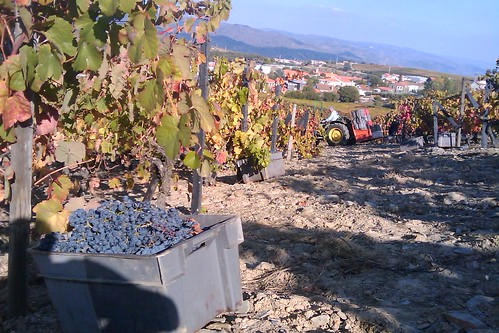 Last basket of grapes from 2010 harvest