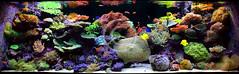 Classicism (Francis Wazeter) Tags: coral aquarium reef saltwater aquascape adg francisxavier reefaquarium aquariumdesigngroup senske wazeter reeflayout