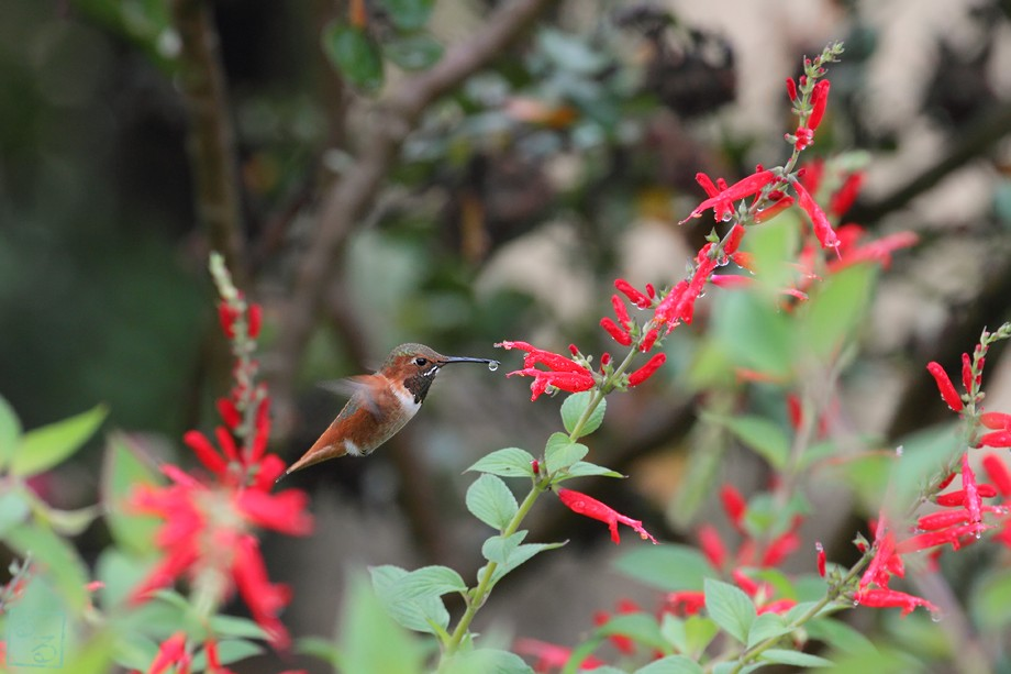 Allen's Hummingbird 101810-4