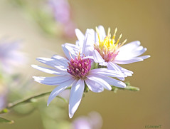 Asters (JacquiTnature) Tags: flowers autumn light plant fall nature wildflowers asters botony