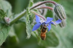 October borage flower