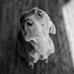 Neurotic (Rudy Malmquist) Tags: wood family sleeping bw dog pet white black race square eyes floor angle wide hard canine down weimaraner lie racer laying weim malmquist ldlportraits